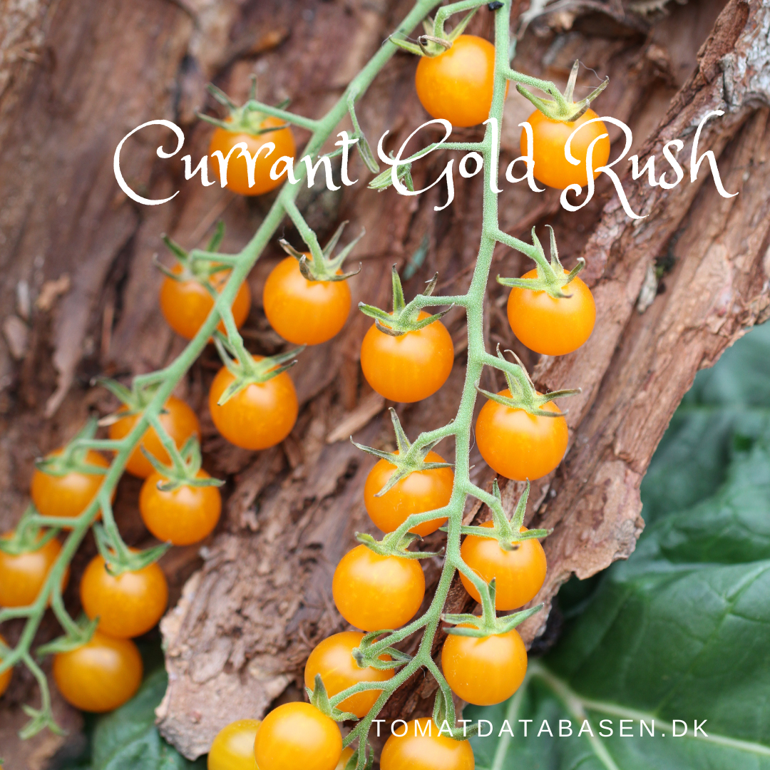 Currant Gold Rush