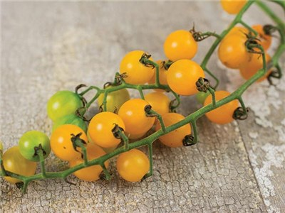 Gold Rush Currant