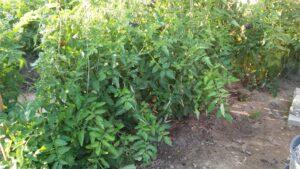 tomatsorter til friland