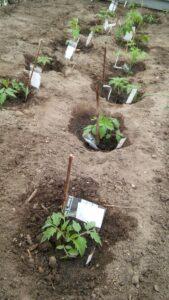 Udplantning af tomater i jorden i drivhuset