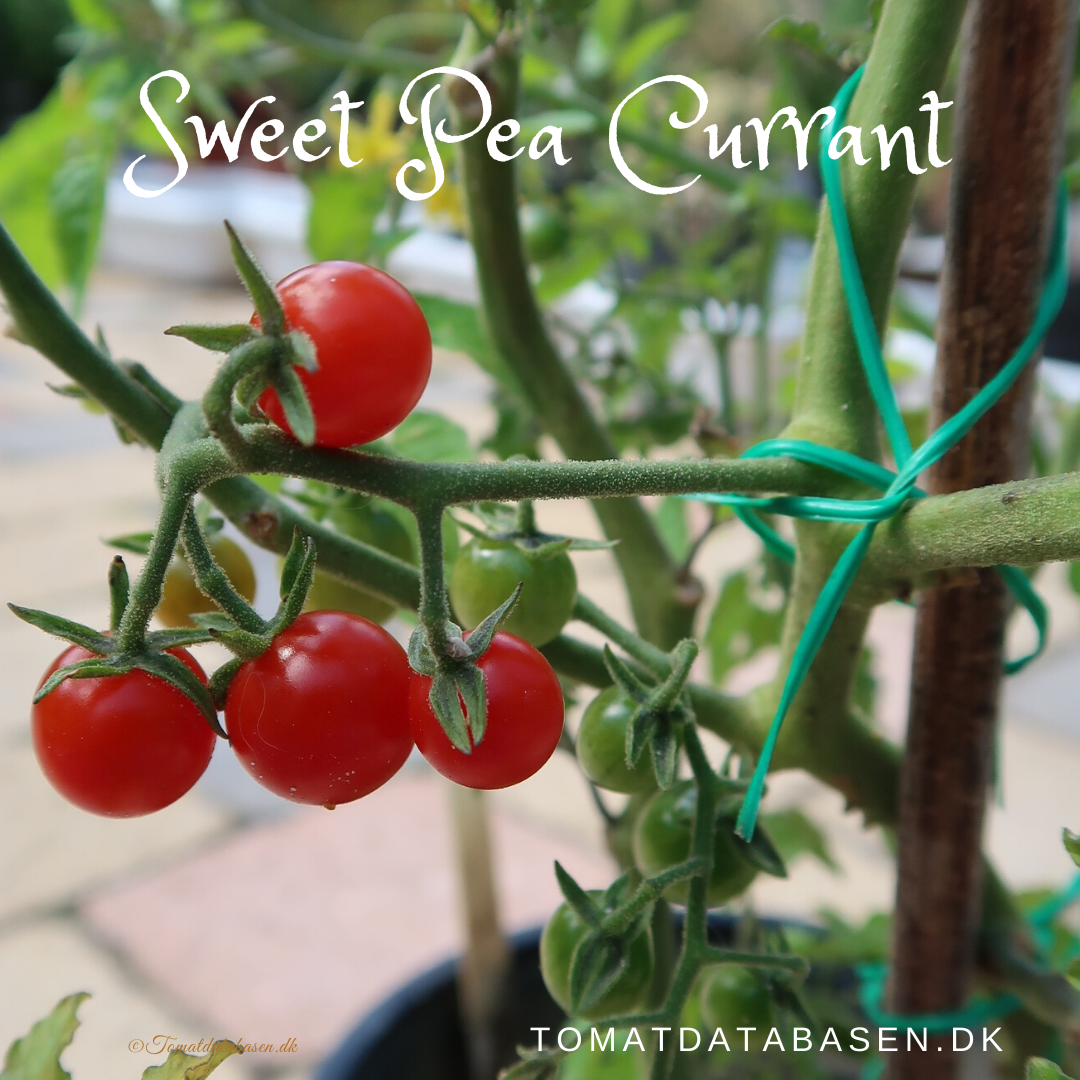 Sweet Pea Currant
