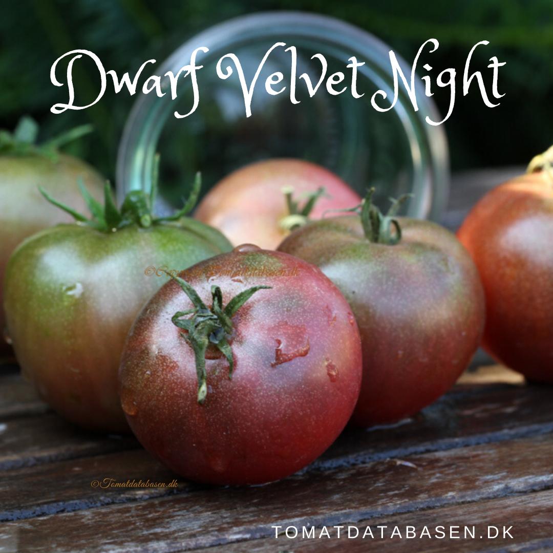 Dwarf Velvet Night